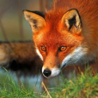 Base de recueil des dommages et dégâts causés par le renard